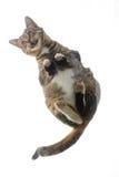 Mening van onderaan een kat die op dakraam mauwt. Royalty-vrije Stock Foto