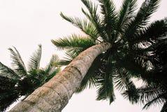 Mening van onderaan sommige grote palmtrees stock afbeelding