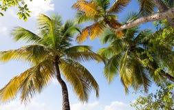 Mening van palmen van onderaan, het eiland van Martinique royalty-vrije stock foto