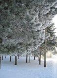 Mening van pijnboombomen in de winter royalty-vrije stock foto's