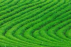 mening van rai van de theeaanplanting chiang Stock Afbeelding