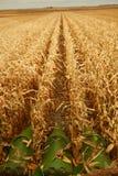 Mening van rijen van ongesneden maïs en een snijdersbar Stock Afbeelding