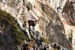 Mening van Steenbok op de Berg in Valle D ` asota Royalty-vrije Stock Afbeeldingen