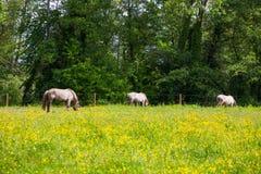 Mening van Tarpan, wild paarden Stock Foto