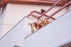 Mening van twee honden die op het balkon een hoogtepunt bereiken royalty-vrije stock fotografie