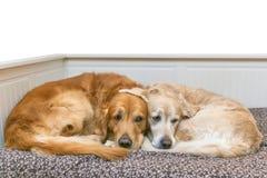Mening van twee honden het liggen Stock Afbeelding