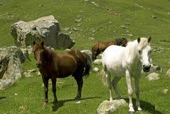 Mening van witte en bruine paarden Stock Fotografie