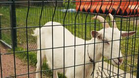 Mening van witte geit in vogelhuis achter de groene omheining dierentuin dieren Boom op gebied stock video