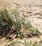 Mening van zandig strand en duin met kruid Royalty-vrije Stock Afbeelding