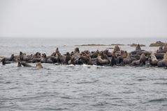 Mening van Zeeleeuwen die op Strand bij Kust rusten Royalty-vrije Stock Foto's
