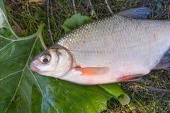 Mening van zoetwater zilveren brasem of witte bremvissen op zwarte vissen royalty-vrije stock foto