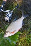 Mening van zoetwater zilveren brasem of witte bremvissen op zwarte vissen stock fotografie