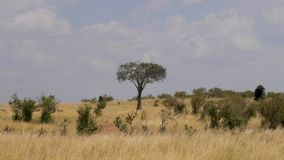 Meningen van Afrikaanse Savannah With Yellow Grass From de Droogte en de Struiken stock footage