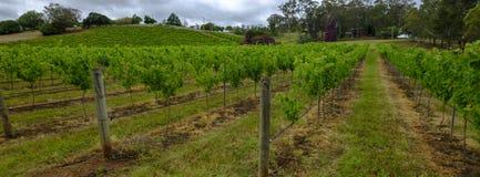 Meningen van wijngaarden op het gebied van het Onderstelweergeven van Hunter Valley, NSW, Australi? royalty-vrije stock afbeeldingen