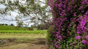 Meningen van wijngaarden op het gebied van het Onderstelweergeven van Hunter Valley, NSW, Australi? stock afbeelding