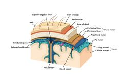 Meninges. Human brain. Vector illustration royalty free illustration