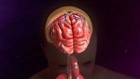 Meninges Royalty Free Stock Images