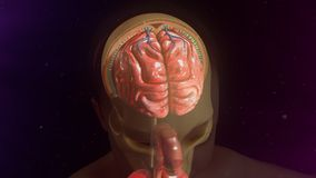 Meninges Royalty Free Stock Photography