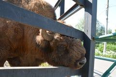 Menings mannelijke bizon Stock Foto's