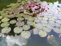 Meningsgebied van †‹â€ ‹een vijver met roze aquatische bloemen Royalty-vrije Stock Afbeeldingen
