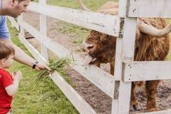 Menino da criança e seu pai que alimentam uma vaca das montanhas Fotografia de Stock