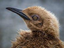 Menino da estopa dos anos de idade, um rei adolescente Penguin aproximadamente a fazer a muda Foto de Stock
