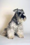 Cão do Schnauzer Imagem de Stock Royalty Free