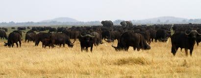 Menino do punhal; Búfalo africano Fotografia de Stock