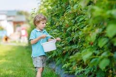 Menino louro da criança que tem o divertimento com as bagas da colheita na exploração agrícola da framboesa Imagens de Stock Royalty Free
