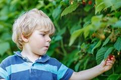 Menino louro da criança que tem o divertimento com as bagas da colheita na exploração agrícola da framboesa Foto de Stock Royalty Free
