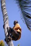 Menino na árvore, Kizimbani, Zanzibar, Tanzânia Foto de Stock