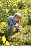 Menino novo na caça do ovo de Easter no campo do Daffodil Foto de Stock