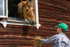 Menino que alimenta um cavalo através de uma janela, guardando a grama em sua mão Imagens de Stock