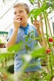 Menino que come tomates cultivados em casa na estufa Foto de Stock Royalty Free