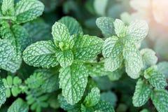 Mennica jest zielonym obfitolistnym rośliną Uwypukla świeżego oddechu zapach Robi te Zdjęcia Royalty Free