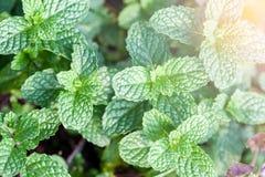Mennica jest zielonym obfitolistnym rośliną Uwypukla świeżego oddechu zapach Robi te Obrazy Stock