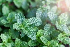 Mennica jest zielonym obfitolistnym rośliną Uwypukla świeżego oddechu zapach Robi te Zdjęcie Stock