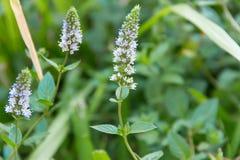 Mennica kwitnie w organicznie ogródzie obrazy royalty free