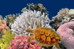 meno de lombok d'île de l'Indonésie de gili près de monde sous-marin de tortue de mer Images libres de droits