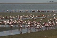 Meno fenicottero alla baia Namibia di Walvis Fotografia Stock Libera da Diritti
