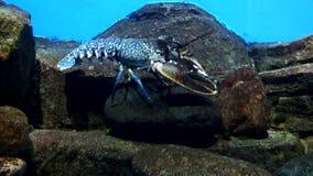 meno lombok острова Индонесии gili около мира черепахи моря подводного Омар сток-видео