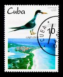Meno sterna (antillarum degli sterni), Cochi di Cayo e serie degli uccelli del locale, Fotografia Stock
