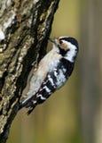 Menor de Dendrocopos, pouco Woodpecker manchado Imagem de Stock Royalty Free