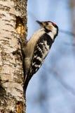 Menor de Dendrocopos, pouco Woodpecker manchado Foto de Stock Royalty Free