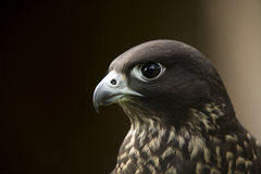 Menor de edad de Peregrinus del Falco fotografía de archivo