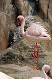 Menor de Lesser Flamingo - de Phoeniconaias imágenes de archivo libres de regalías