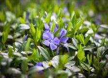 Menor do vinca da flor Fotografia de Stock Royalty Free