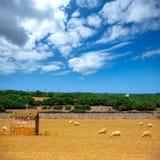 Menorca绵羊在金黄干草甸聚集吃草 库存图片