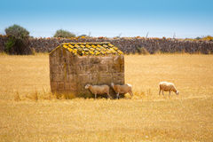 Menorca绵羊在金黄干草甸聚集吃草 库存照片