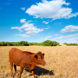 Menorca brown cow grazing in golden field near Ciutadella Stock Photo